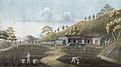Tea planting, China, 19th century