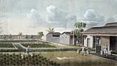 Watering tea plants, China, 19th century