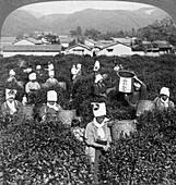 Tea-picking in Uji, Japan, 1904