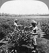 A tea plantation, Java, Indonesia, 1902