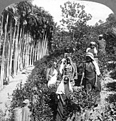 Tamil women picking tea, Sri Lanka, 1903