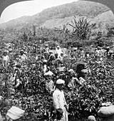 Coffee picking, Dambutenne, Sri Lanka, 1903