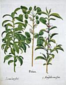 Pistachio Nut, Bay Tree Laurus Nobilis and Almond, 1613