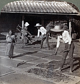 Farmers spreading millet to dry for winter, Japan, 1904