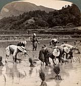Farm labourers transplanting rice shoots, Kyoto, Japan, 1904