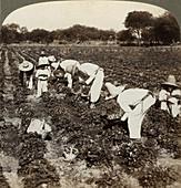 Strawberry field, Irapuato, Mexico