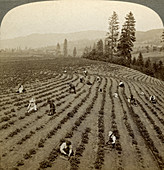 Strawberry picking, Oregon, USA
