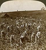 Tobacco field, Montpeller, Jamaica, 1900
