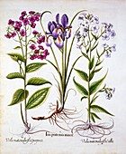 Dame's Violet and a Field Iris, from 'Hortus Eystettensis'