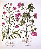 Musk Mallow, from 'Hortus Eystettensis'