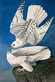 Jer or Iceland Falcon, Falco Islandicus, 1845