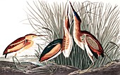 Least Bittern, Ixobrychus Exilis, 1845