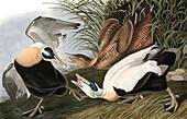 Eider Duck, Fuligula Mollissima, 1845
