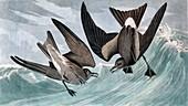 Fork Tailed Petrel, Thalassidroma Leachii, 1845