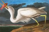 Great White Heron, Ardea Occidentalis, 1845