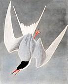 Great Tern, Sterna Hirundo, 1845