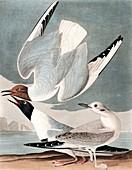 Bonapartian Gull, Larus Bonapartii, 1845