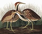 American Bittern, Botaurus Lentiginosus, 1845