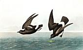 Least Stormy Petrel, Thalassidroma Pelagica, 1845