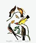 Three Varieties of Flycatcher, 1845