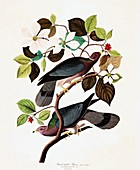 Band Tailed Pigeon, Columba Fasciata, 1845