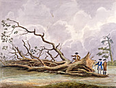 Trees damaged by a storm of 15th October, London, 1780