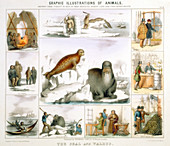 The Seal and the Walrus, c1850