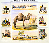 The Camel', c1850