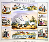 The Swan, Goose and Duck', c1850