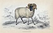 Black Faced Ram', mid 19th century
