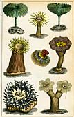 Sea anemones, c19th century