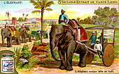 The Elephant as draught animal, c1900