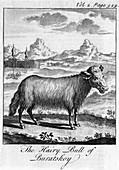 The Hairy Bull of Buratskoy', c18th century