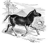 Engraving of a Quagga, 1884