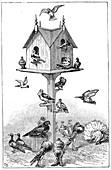 Pigeons used by Charles Darwin, 1887