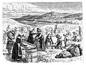 Cape Cod women picking and sorting Cranberries, 1875