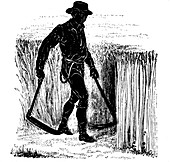 Crop rotation: reaping with a Hainault Scythe, 1855