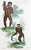 Orang Utang and Gibbon, 1822