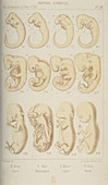 Mammal embryos, 1905