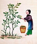 Gathering mulberry leaves to feed silkworms, 19th century
