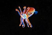 Aggressive Atlantic bobtail squid