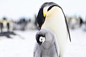 Emperor penguin grooming its chick