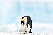 Emperor penguin feeding its chick