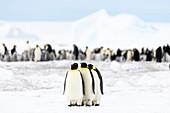 Emperor penguin feeding journey