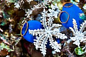 Clavularia flower coral and blue sea squirts