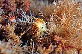 Trinchesia nudibranch