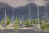 Regenerating vegetation in the 'Dead Forest' Kamchatka