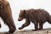Kamchatka Brown Bear cub walking behind its mother