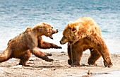 Female Kamchatka brown bear attacking another bear