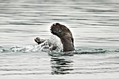 Feet of a diving Kamchatka Brown Bear fishing for salmon